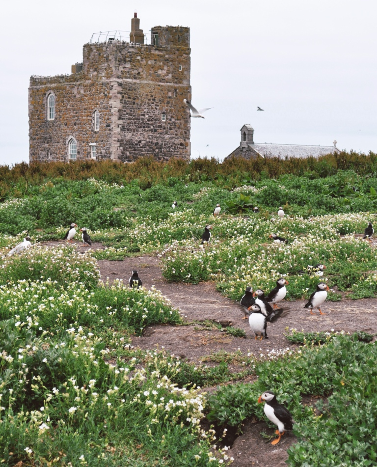 Puffins and arctic turns in the Farne Islands